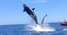 Orca Goes FULL Send While Pursuing Dolphin Hors d'oeuvre In Front Of Fearless Boaters